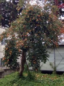 柿の木伐採1